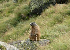 Marmots in Italy